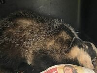 RSPCA warning after badger suffers suspected dog attack in Nantwich