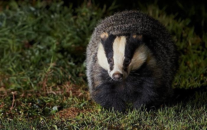 badger - cheshire wildlife trust autumn watch
