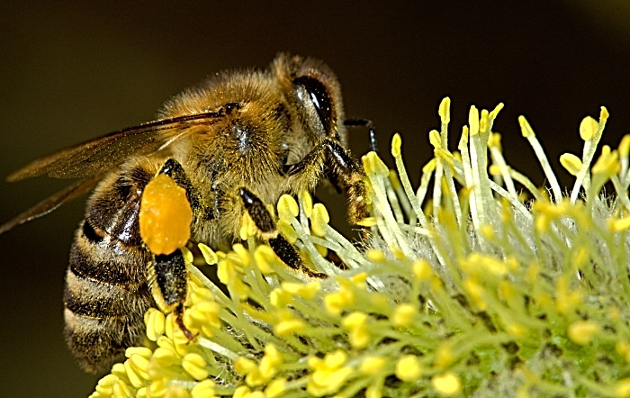 bees - insects - decline - free to use licence