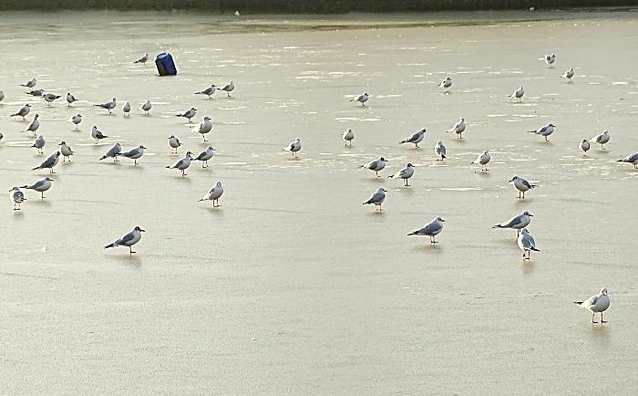birds frozen Nantwich lake - by Helen