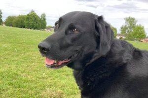 black labrador dogs stolen outside M&S Nantwich