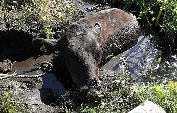 bullock rescued in hankelow