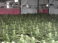 Nantwich residents urged to sniff out cannabis farms after £3m raids