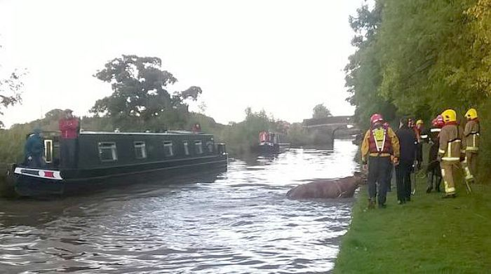 cow rescued from canal in Burland