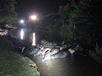Fire crews rescue 20 cows stranded in canal near Nantwich