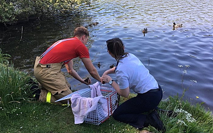 ducklings released