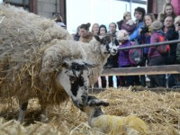 Hundreds enjoy lambing weekend at Reaseheath, Nantwich