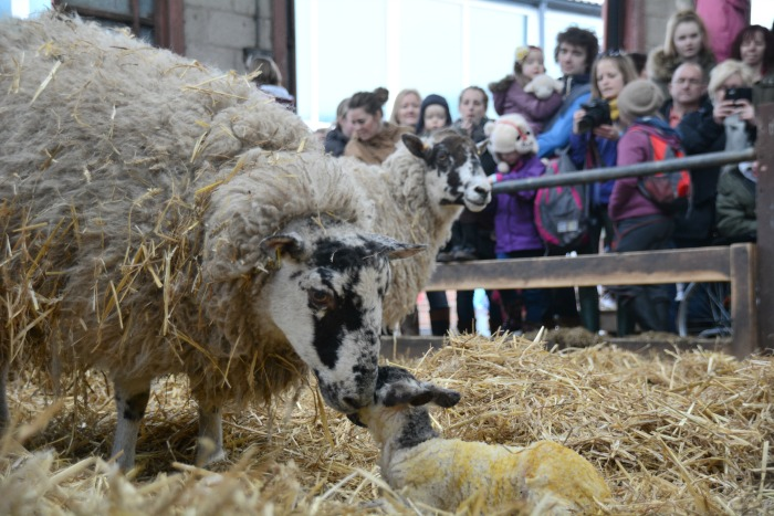 ewe lamb with crowds, lambing weekend