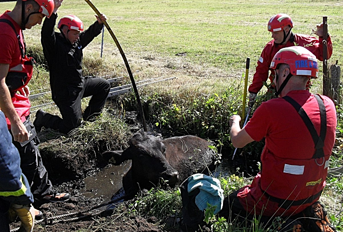 fire crews rescue bullock from ditch