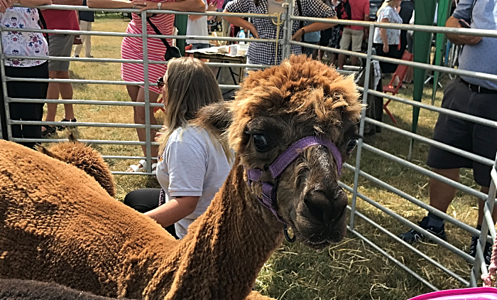 friendly alpacas at Nantwich Show