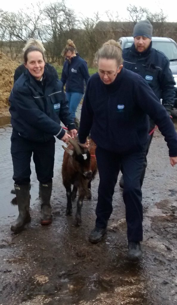 goat abandoned rescued by RSPCA