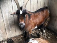 RSPCA rescue heartbroken goat found by dead friend near Shavington