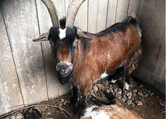 goat found abandoned