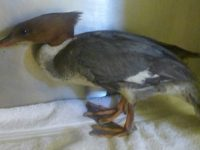 Rare goosander stuck in chimney treated at Stapeley Grange Nantwich