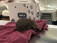 Spike in hedgehog admissions at RSPCA Stapeley centre