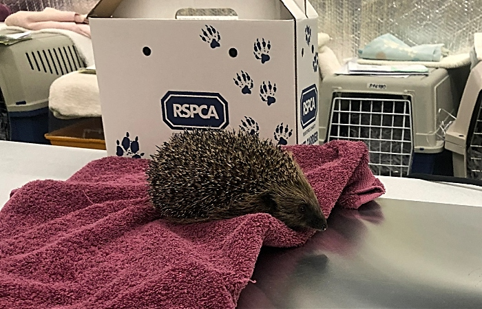 hedgehog admissions RSPCA Stapeley