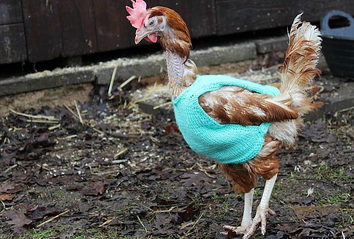 hens in jumper 4