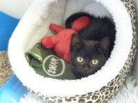 Kitten dumped in Starbucks bin rescued by Nantwich RSCPA staff