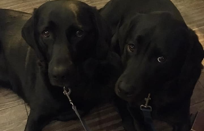 labradors - pics by Dale Robson