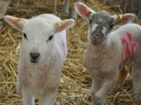 Reaseheath lambing event cancelled on February 29