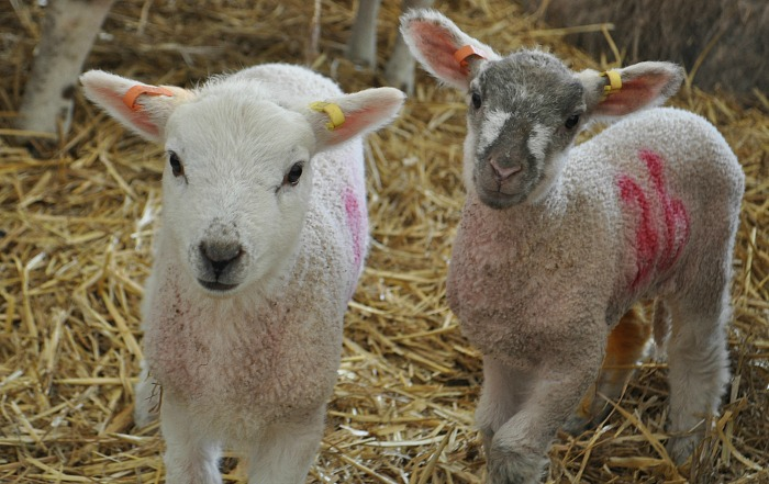 lambing weekends at reaseheath college