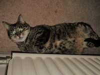 Nantwich cat owner pleads for help to trace missing pet