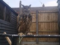 Owner appeals for help to trace missing Eagle Owl