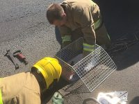 Nantwich fire crews wade in to rescue ducklings from drain