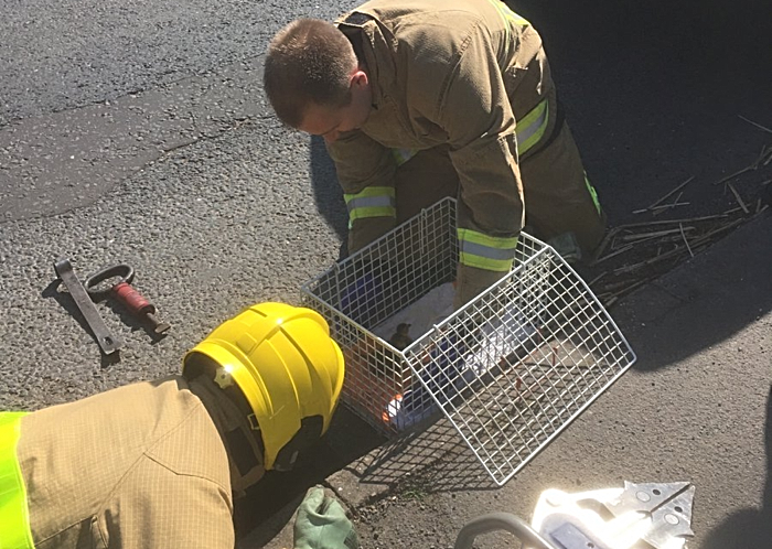 nantwich fire crews rescue ducklings