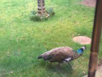 Mystery peahen ruffling feathers in Nantwich