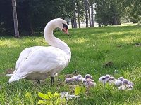 Swan family provides attraction for Nantwich walkers!