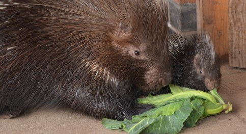 Porcupine to make first public appearance at Reaseheath Zoo in Nantwich