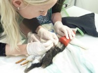 Rare injured puffin admitted to Stapeley Grange RSPCA centre
