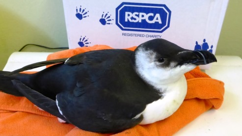 Nantwich animal centre cares for rare seabird hit by hurricane