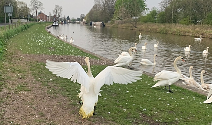 recovered swan released