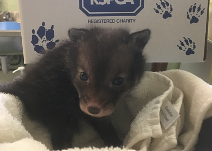 rescued fox cub stapeley grange