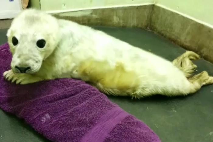 seal pup Jon Snow at RSPCA centre