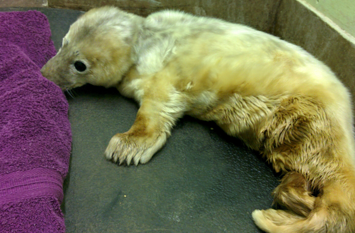 seal pup named Jon Snow at Stapeley grange