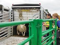 Police hunt for sheep rustlers who targeted Nantwich farm