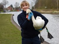 "Swan released by RSPCA Stapeley after ""horrendous"" shot to neck"