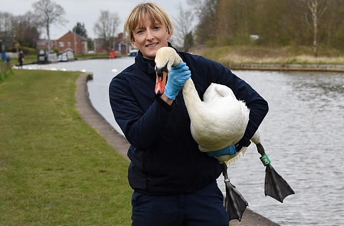 shot swan recovers - RSPCA - Middlewich