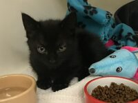 Kitten found dumped in carrier outside RSPCA centre in Nantwich