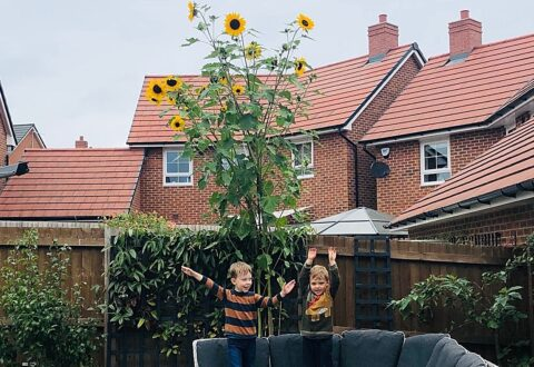 Nantwich family and neighbours team up to grow amazing sunflowers