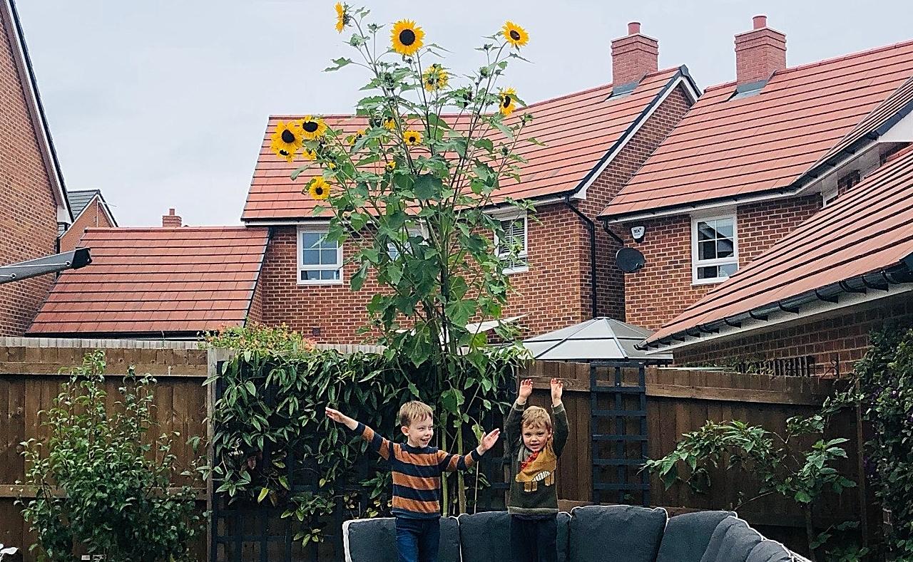 sunflowers in nantwich
