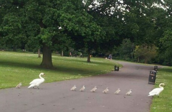 swan family at Queens Park in Crewe