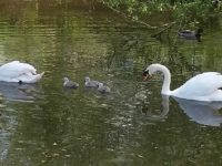 Swan family settling in well on Nantwich River Weaver