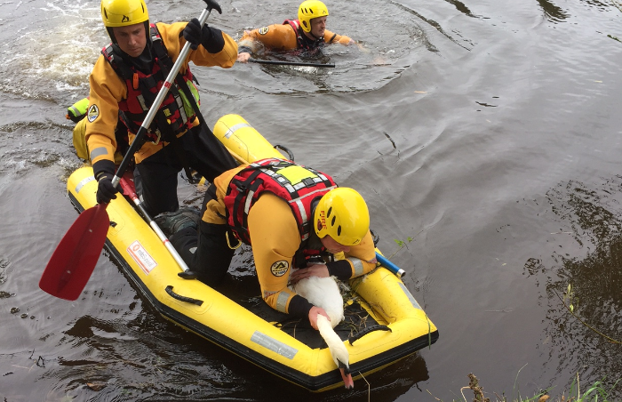 swan rescued from river weaver has died, says RSPCA