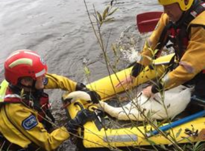 swan rescued from river