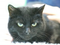 Black and white cats at Nantwich RSPCA centre missing out on new homes