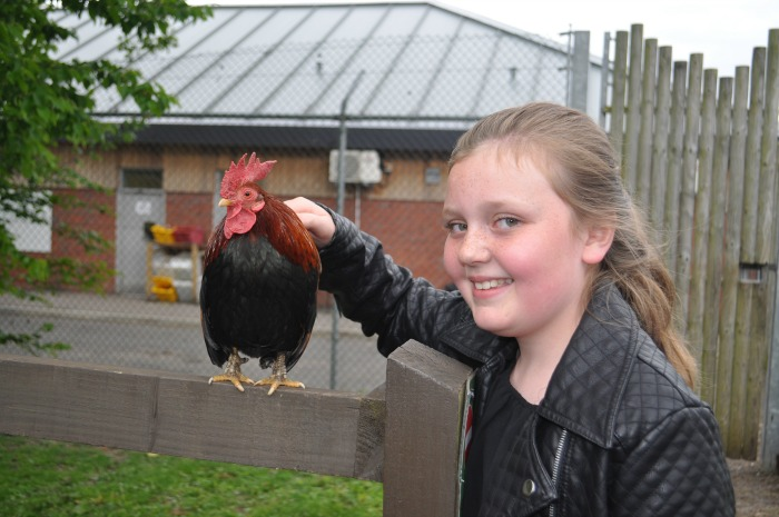 Family Festival - zoo Ellie Clarke, 10, from Crewe meets Chris the cockerel